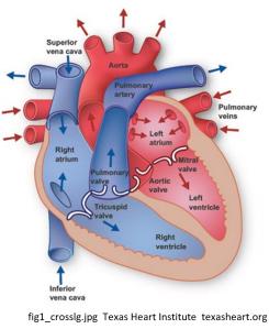 HeartLabeledDiagramCitation